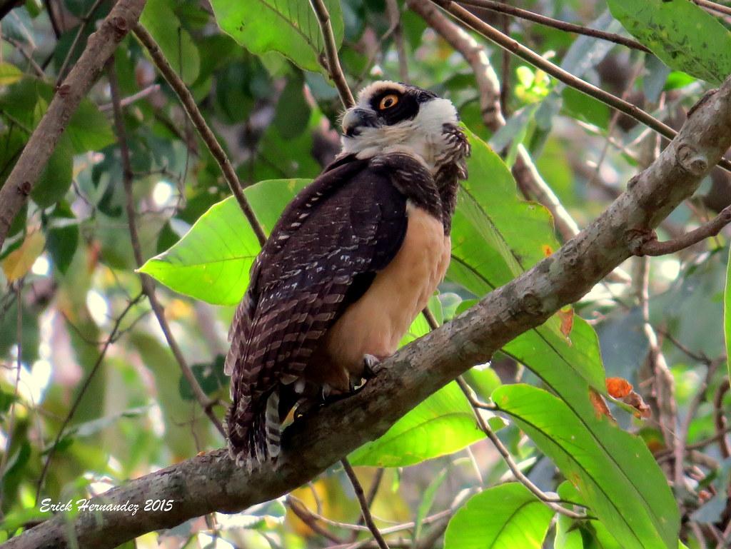 "Buho de Anteojos / Juvenile Spectacled Owl ""Pulsatrix perspicillata"""