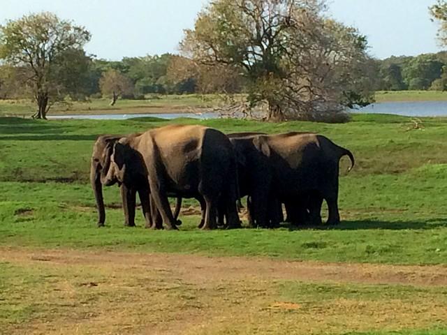 Safari - wild elephants
