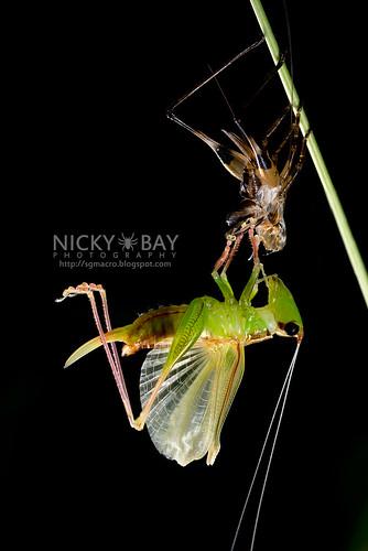 Katydid moulting (Tettigoniidae) - DSC_8059   by nickybay