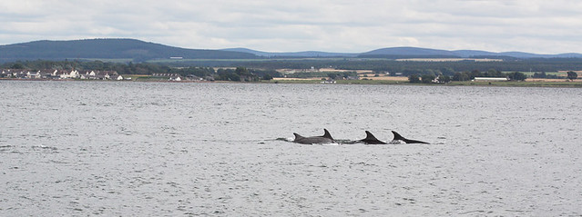 Bottlenose dolphins just off Chanonry Point on the Black Isle, north of Inverness, Scotland.