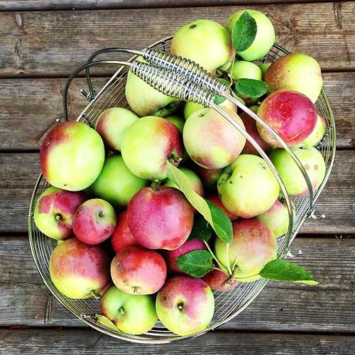 McIntosh apples from my garden
