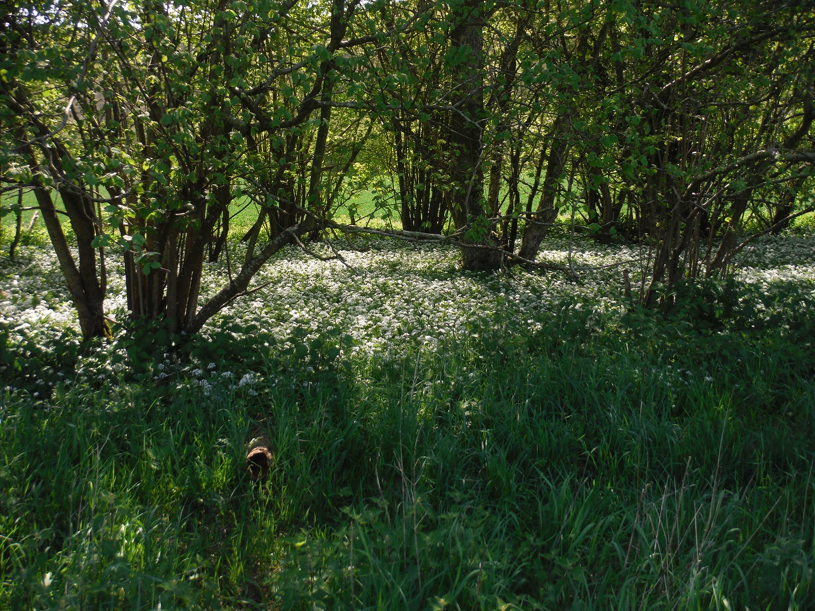 Wild Garlic in Wood SWC Walk Rowlands Castle Circular