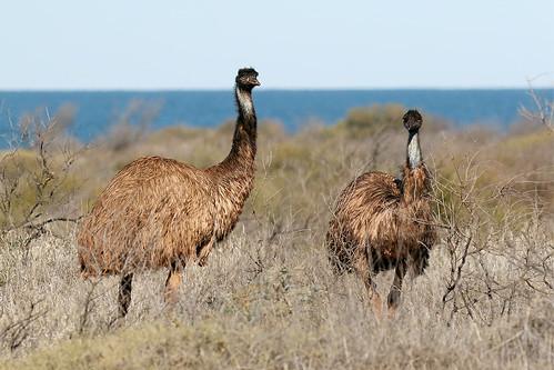 Emu (Dromaius novaehollandiae)   by patrickkavanagh