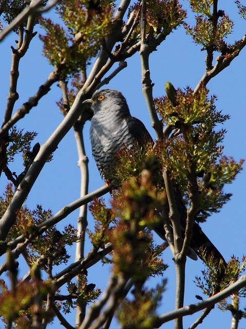 Cuckoo Male (Cuculus canorus)