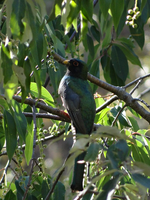 04172013 455 Mountain Trogon - Trogon mexicanu