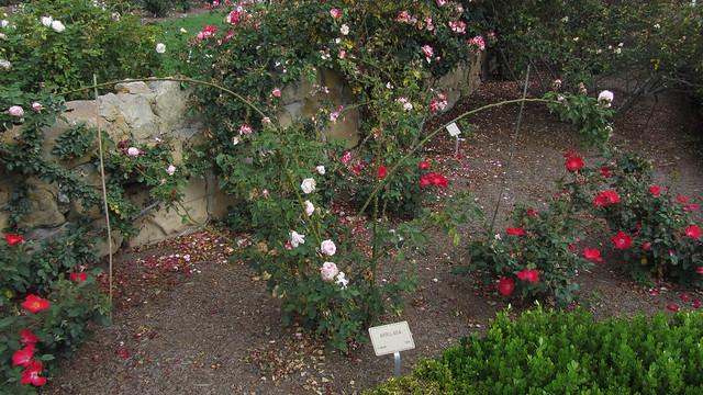 IMG_8874 Santa Barbara Postel garden Arrilaga rose