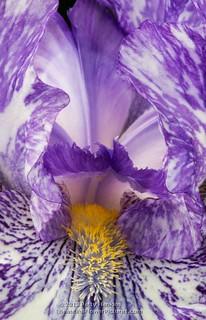 2013_05_iris_purple_streaker_9139