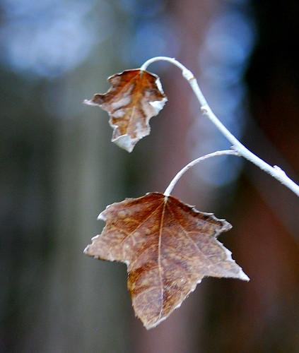 tree pair brown bokeh bokah frost leaf trees