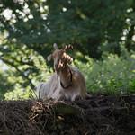 Llantrisant Castle goat