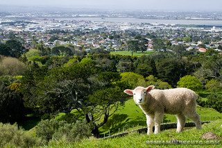 Sheep in the City | by Benjamin Beck