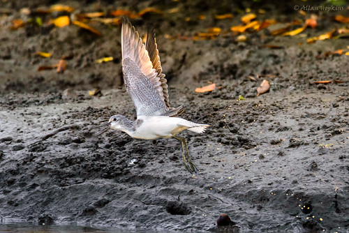 Common Greenshank (Tringa nebularia) adult winter, takes flight. | by Allan Hopkins