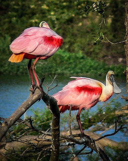 Colorful Spoonbills | by AtchisonGallery