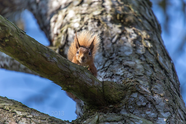 Playing peek-a-boo with a red squirrel IMG_9921