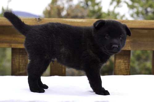 Ayu-Litter3-Day30-Puppy3-Male-d | by brada1878