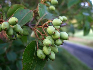 green unripe nannyberries | by Wendell Smith