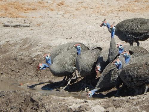 Etosha NP -  helmeted guineasfowls drinken