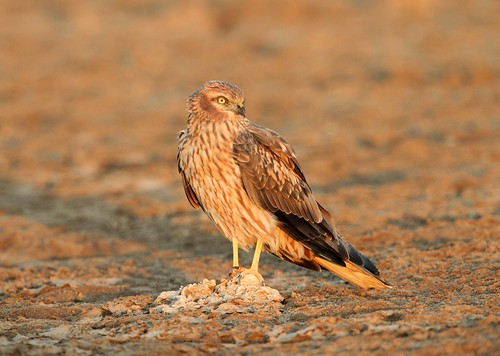 Montagu's Harrier | by Raghuvir solanki