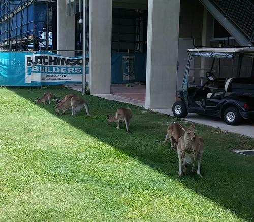 Kangaroos, Sippy Downs campus