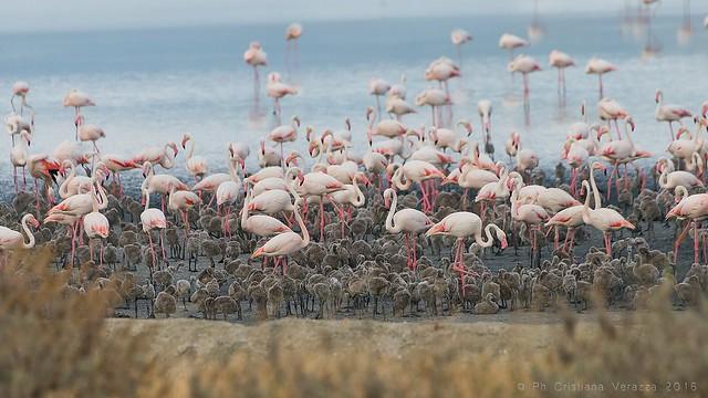 Little flamingo's