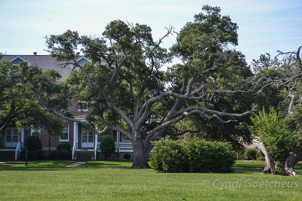 algernourne oak 540 | The Algernourne Oak tree at Fort Monro