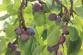 Early Plums | by The Garden Smallholder
