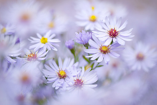 Autumn Asters | by Jacky Parker Photography