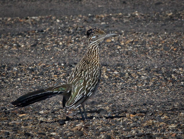 Greater Roadrunner  - Cryptic Colouration