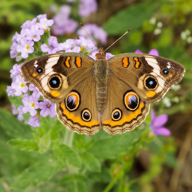 The first Buckeye butterfly of Spring.