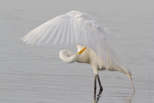 birds preening greategret merrittislandnwr naturethroughthelens ©denniszaebstallrightsreserved