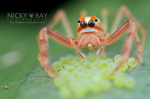 Wide-Jawed Viciria (Viciria praemandibularis) - DSC_3112 | by nickybay