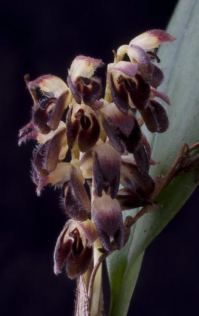 Trichosalpinx memor