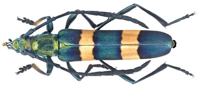 Polyzonus spec. 10