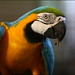 Guacamaya Azul Amarilla - Photo (c) Gaurika Wijeratne, algunos derechos reservados (CC BY-NC-ND)