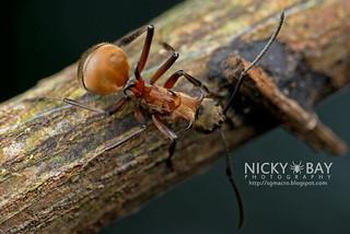 Fish Hook Ant (Polyrhachis bihamata) - DSC_5245