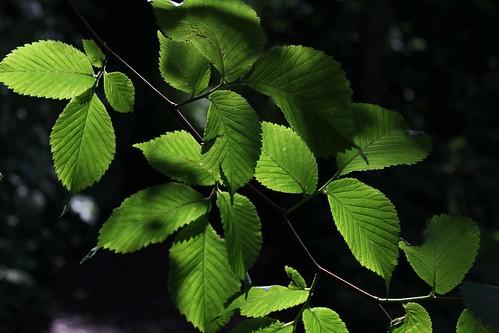 New hazel leaves | by Guy R