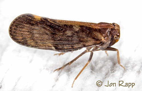 insect missouri planthopper pintaliavibex