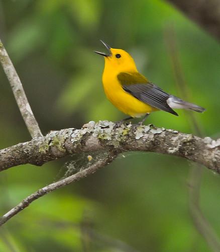 Prothonotary Warbler Singing | by Noel Pennington