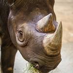 Eastern Black Rhinoceros