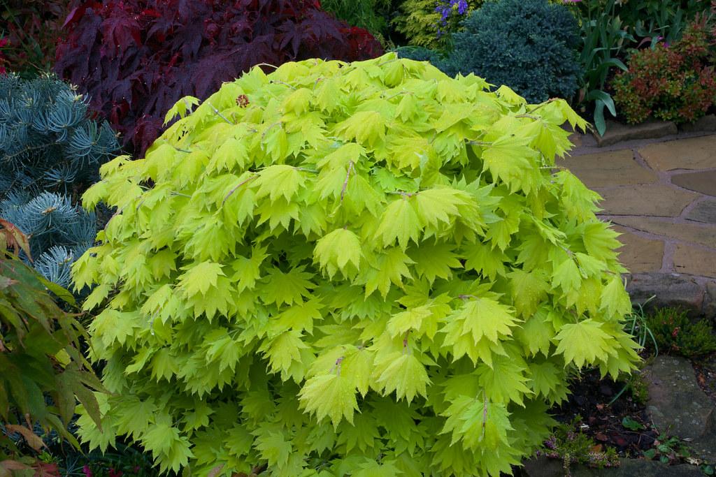 New Leaves Acer Shirasawanum Aureum Golden Leaf Full M Flickr