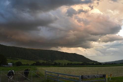 sunset summer animals landscape corn cattle australia valley nsw fields storms sunsetclouds stormscape ruralaustralia northernrivers rukenvale rurallandscape dairycattle richmondvalley streamscape
