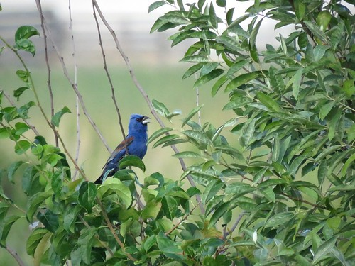 Blue Grosbeak   by Justin Lee (NoNameKey)