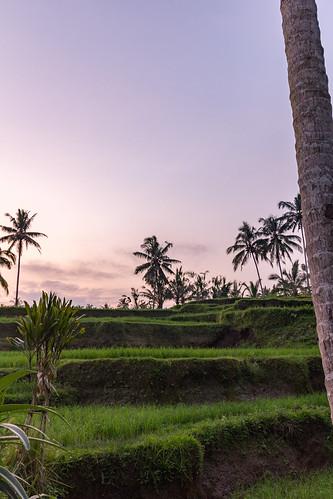 sunset bali sun green nature field indonesia island purple rice outdoor id palmtrees ricefield tegallalang