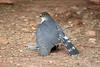 Little Sparrowhawk, Sakania, DRC by Terathopius