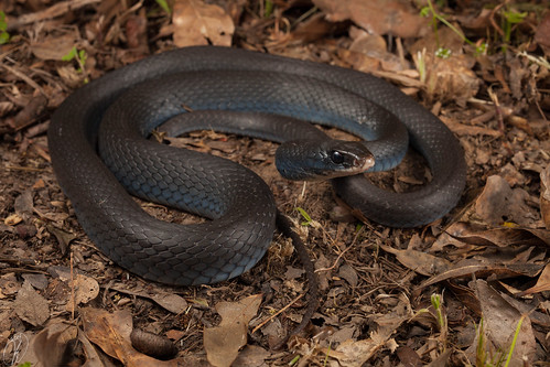 Coluber constrictor priapus (Southern Black Racer) | by Kyle L.E.