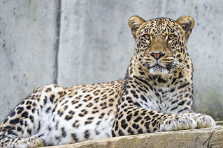 Lying male Persian leopard | by Tambako the Jaguar