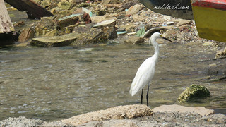 Snowy Egret (Cattle Egret (Egretta thula) in Port Royal