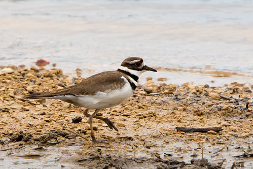 Killdeer | by Second City Warehouse