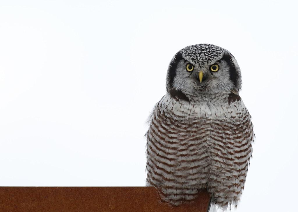 Waldo the Owl