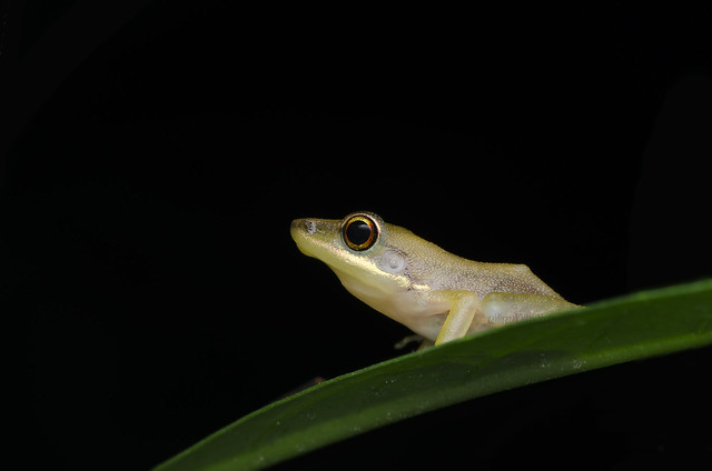 White-lipped frog