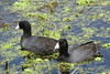 American Coot (Fulica americana) by Gerald (Wayne) Prout